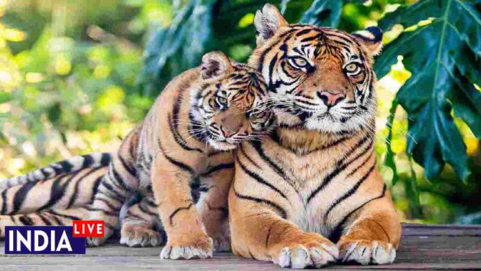 International Tiger Day 2020; India's Tigers Story
